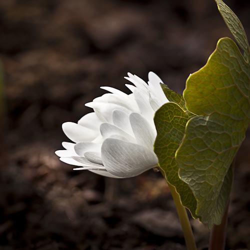 Double Bloodroot (Sanguinaria canadensis)