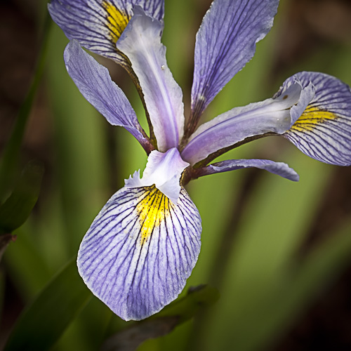 Iris versicolor (Northern Blue Flag)